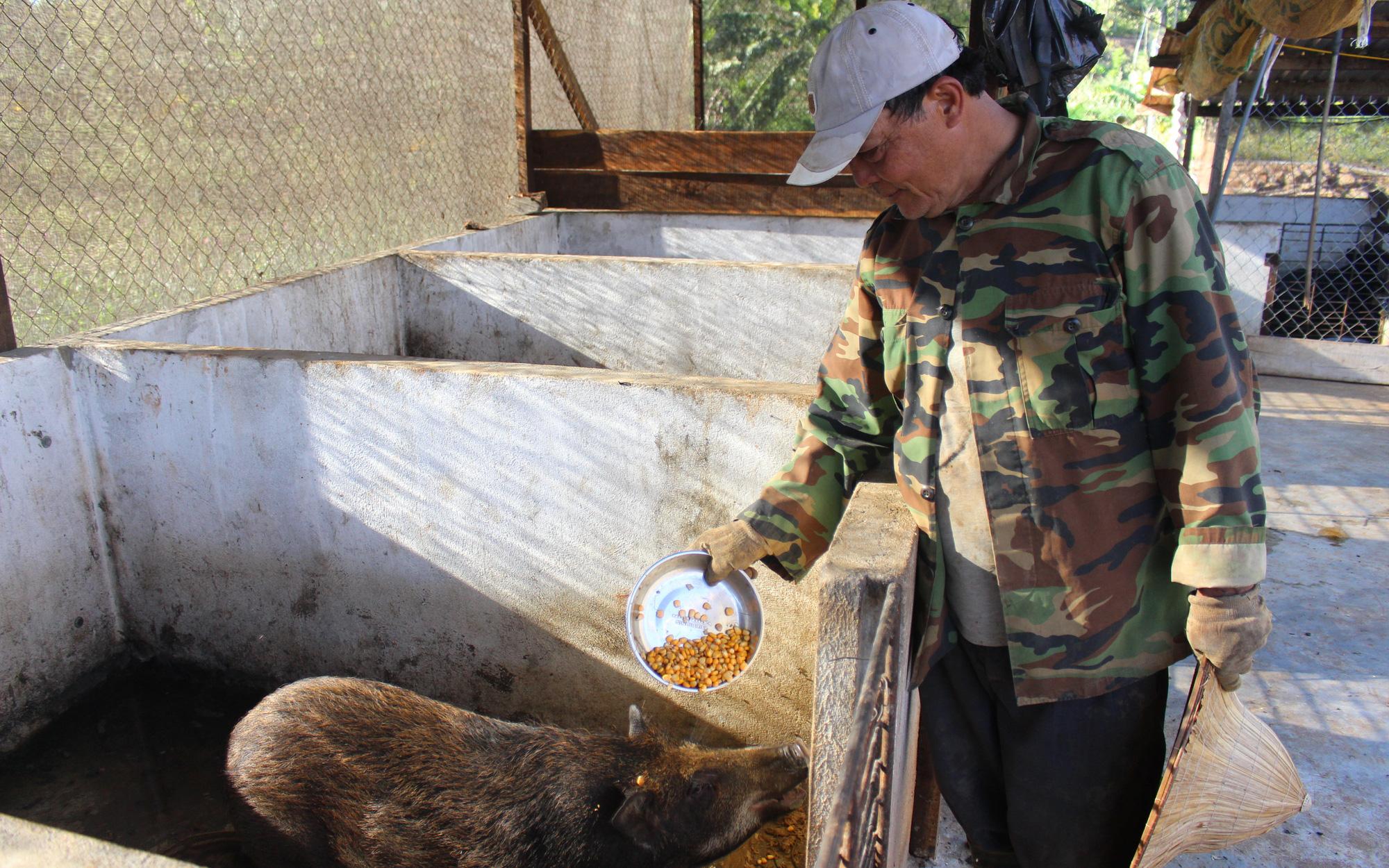 Thả trăm con heo có sọc trong vườn, cho ăn ngô rau, lão nông dằn túi 30 triệu/tháng
