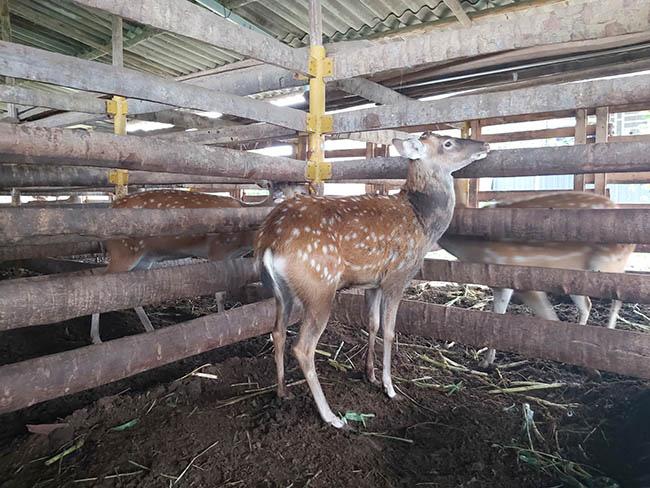 Kỹ sư bỏ lương cao về nuôi con đặc sản cưa sừng làm thuốc bổ - Ảnh 3.