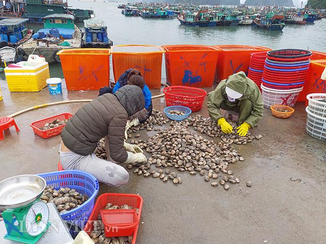 Dịch Covid-19: Quảng Ninh kêu gọi TKV tiêu thụ ngao, hàu cho ngư dân - Ảnh 1.