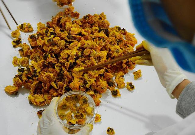 """""""Lão khùng"""" mang thứ hoa vàng trên núi về trồng bán 15 triệu/kg - Ảnh 4."""