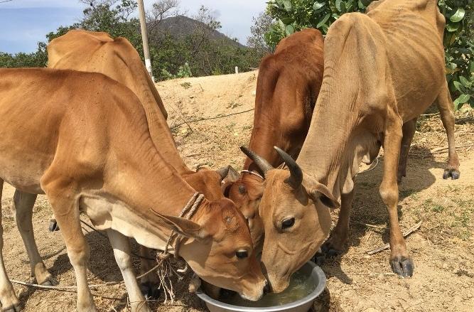 Ninh Thuận: Nắng như rang, dân khổ sở tìm nước uống cho dê, bò - Ảnh 4.