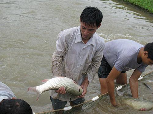 Ở nơi này, dân khá giả lên nhờ nuôi cá to bự chuẩn VietGAP - Ảnh 1.