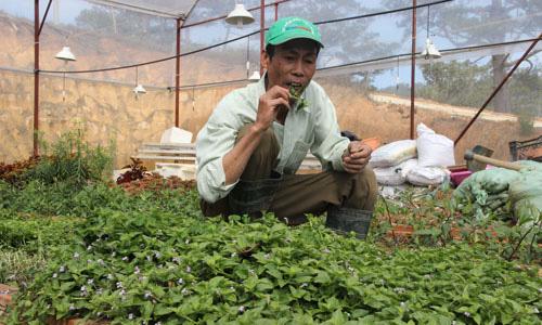 Trồng 100m2 rau rừng vốn mọc dại, thu hơn 40 triệu đồng 1 năm - Ảnh 1.
