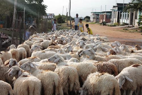 """Cây chết khô, đàn dê cừu còm cõi nơi """"chảo lửa"""" Thuận Nam - Ảnh 3."""