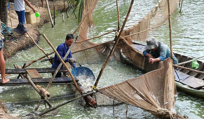 Giá cá tra thấp nhất trong 10 năm qua - Ảnh 1.
