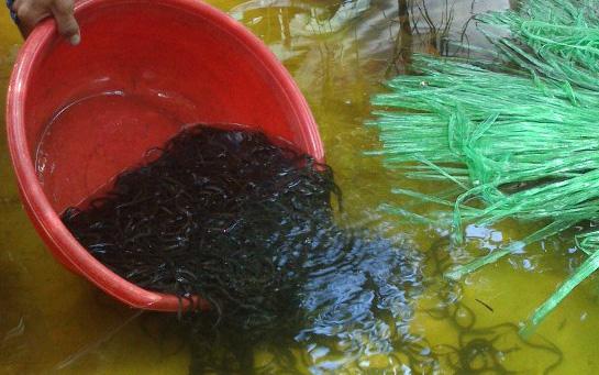 Độc đáo: Nuôi nhung nhúc lươn giống, bán 1 con bé tý với giá 5 ngàn
