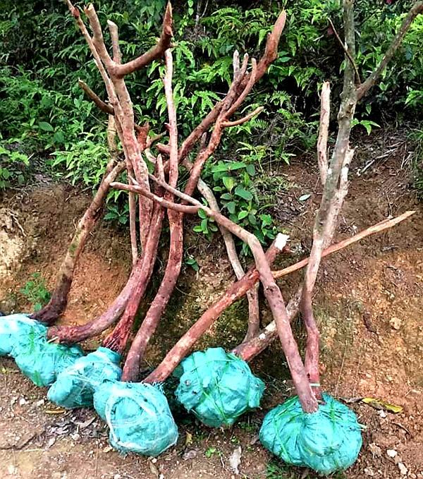 """Lạng Sơn: Xuất hiện tình trạng người dân """"phá núi, xẻ rừng"""" săn cây cảnh  - Ảnh 2."""