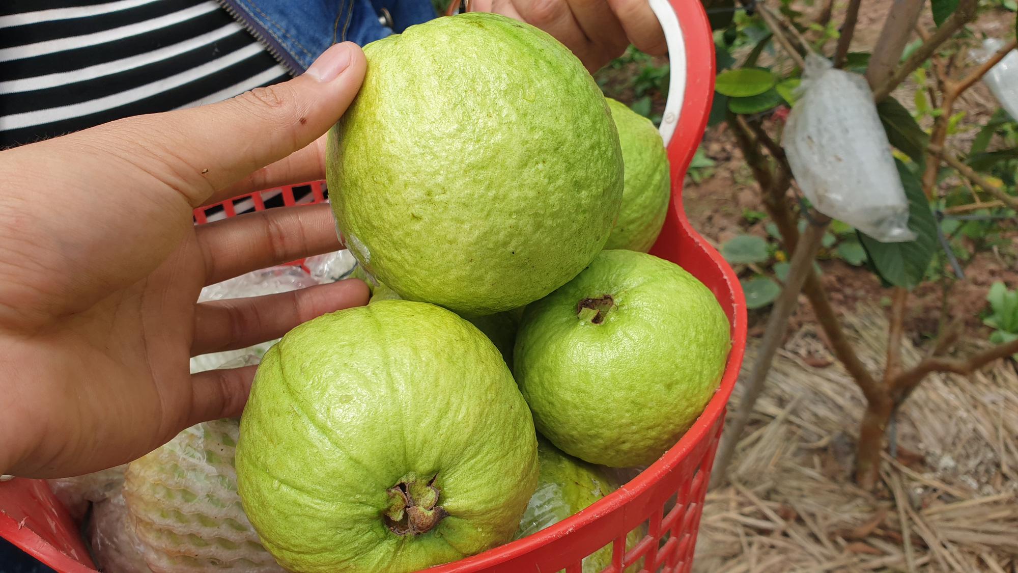 Nam Định: Trồng vườn ổi sai trĩu quả, nuôi được cả con đi du học - Ảnh 4.
