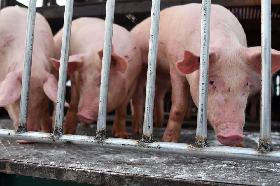 Thủ tướng: Có kịch bản tái đàn lợn, xử lý nghiêm thao túng giá lợn hơi - Ảnh 2.