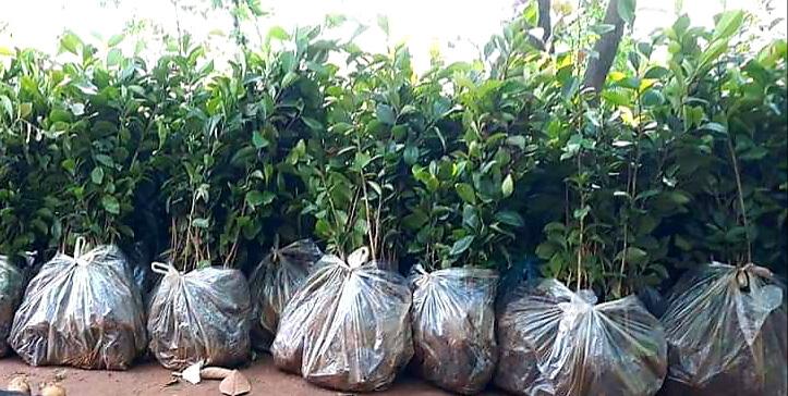 Bộ đội nghỉ hưu tiếc đồi rừng, mê làm giàu từ giống cây họ chè - Ảnh 2.