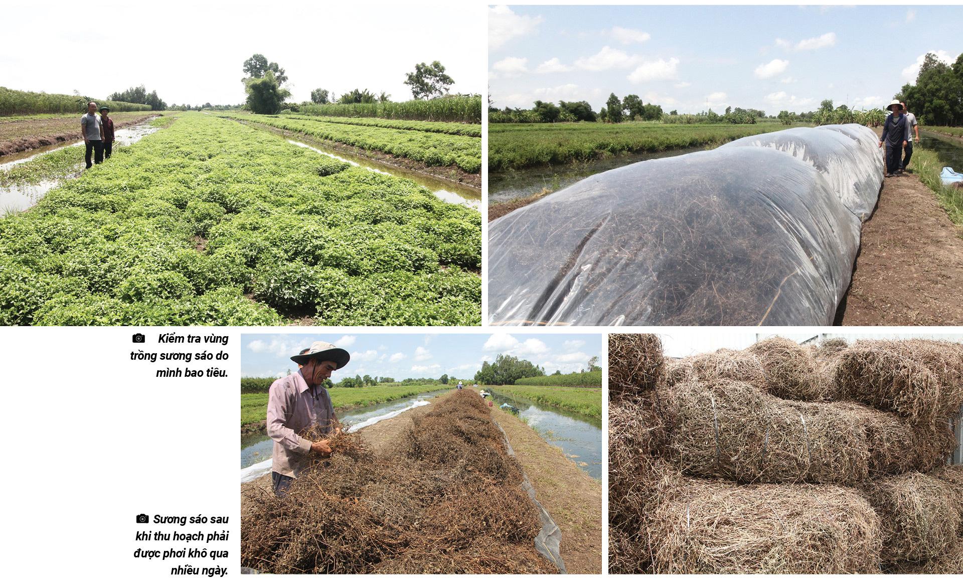 Vùng trồng sương sáo có hương thơm đặc biệt ở miền Tây - Ảnh 5.