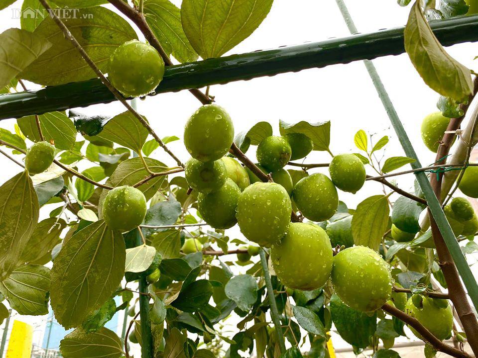 Choáng với khu vườn ngập rau xanh, quả ngọt trên sân thượng của mẹ đảm Hà thành - Ảnh 12.