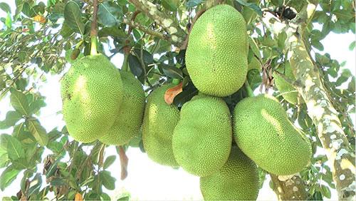 """Bình Thuận: Trồng """"rừng"""" mít Thái ra toàn trái khổng lồ, thương lái tranh nhau mua - Ảnh 2."""