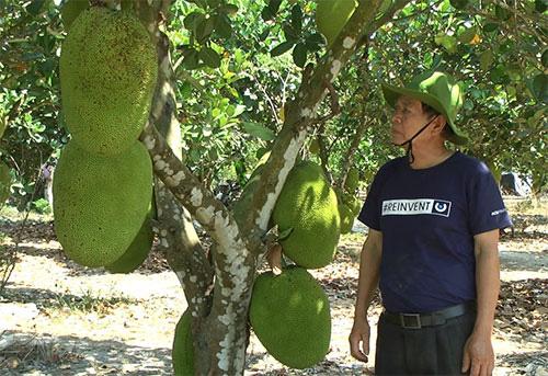 """Bình Thuận: Trồng """"rừng"""" mít Thái ra toàn trái khổng lồ, thương lái tranh nhau mua - Ảnh 3."""