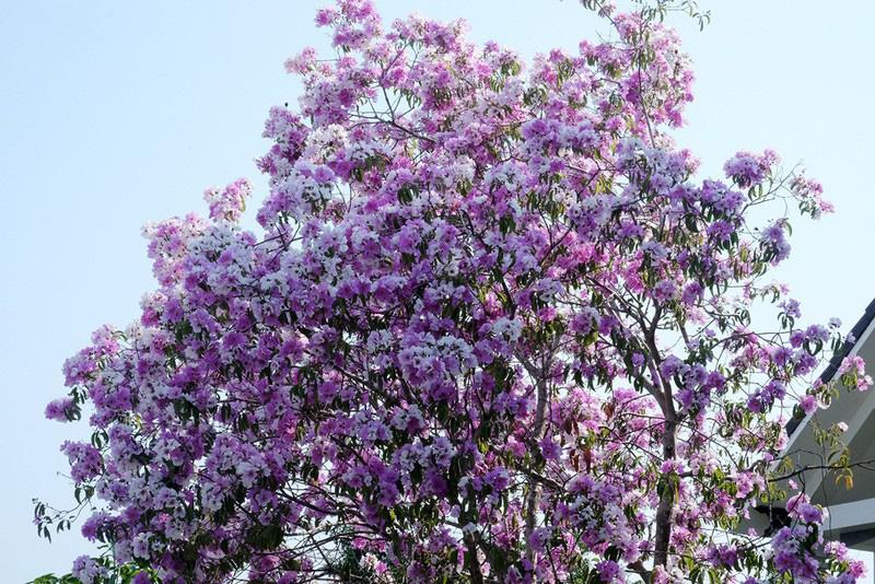 Cây hoa bằng lăng rừng 'giá bao nhiêu cũng không bán' - Ảnh 2.