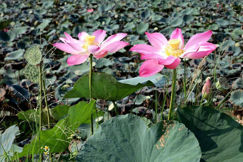 Cây hoa bằng lăng rừng 'giá bao nhiêu cũng không bán' - Ảnh 4.