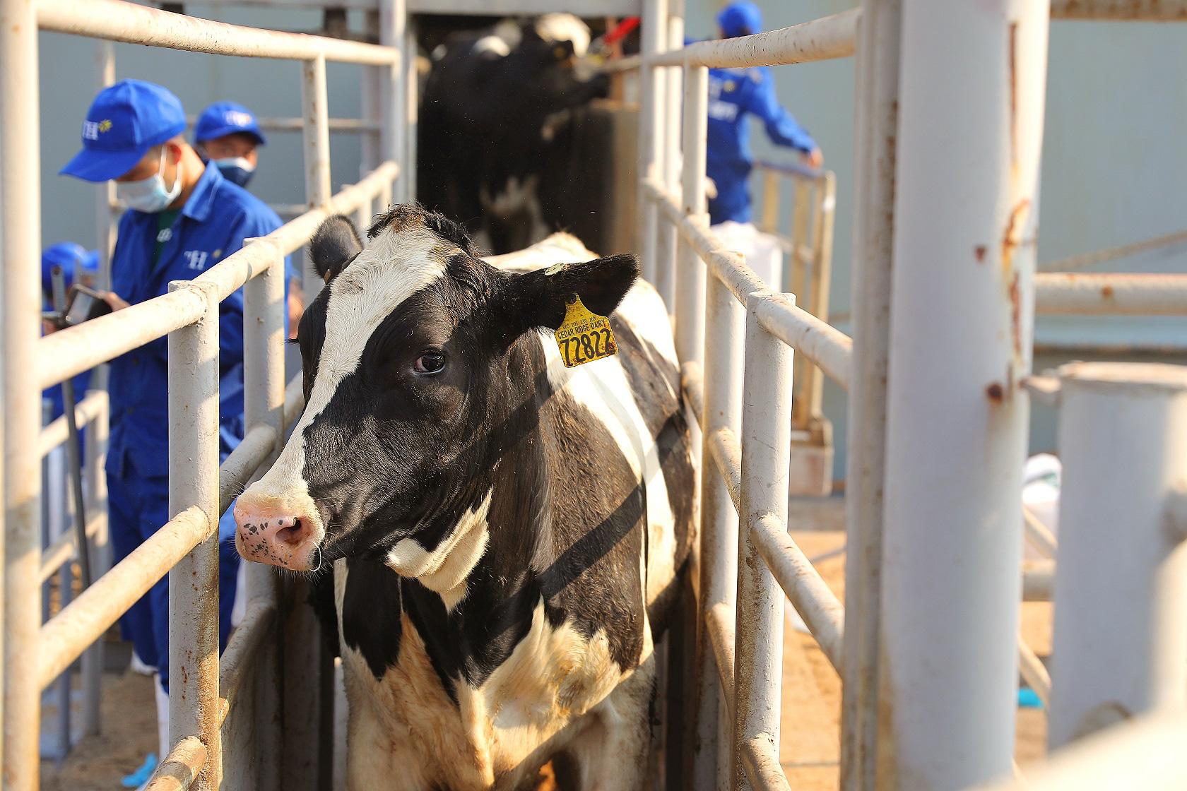 Thêm 1.650 con bò sữa Mỹ giống cao sản thuần chủng HFnhập trại TH tại Nghệ An - Ảnh 2.