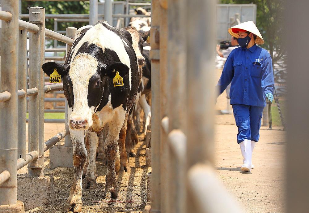 Thêm 1.650 con bò sữa Mỹ giống cao sản thuần chủng HFnhập trại TH tại Nghệ An - Ảnh 1.