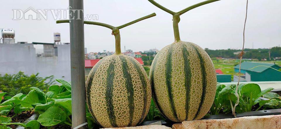 Một phụ nữ ở Hà Nội trồng dưa lưới trên sân thượng, trái nào cũng to bự, mỗi năm thu 3 tạ dưa - Ảnh 7.