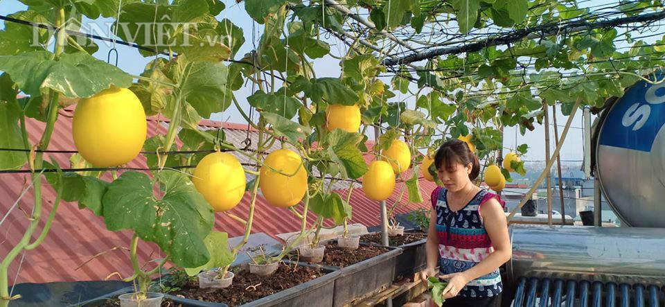 Một phụ nữ ở Hà Nội trồng dưa lưới trên sân thượng, trái nào cũng to bự, mỗi năm thu 3 tạ dưa - Ảnh 4.