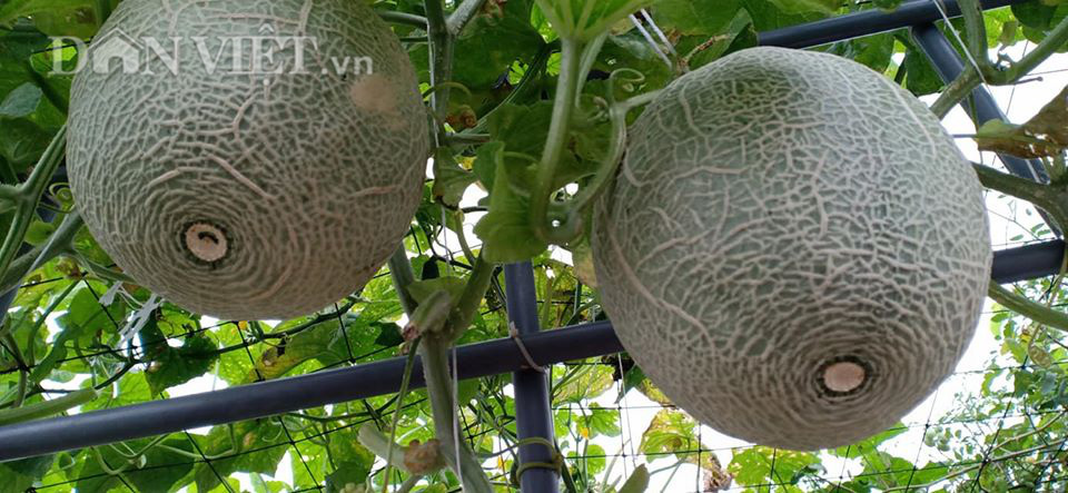 Một phụ nữ ở Hà Nội trồng dưa lưới trên sân thượng, trái nào cũng to bự, mỗi năm thu 3 tạ dưa - Ảnh 11.