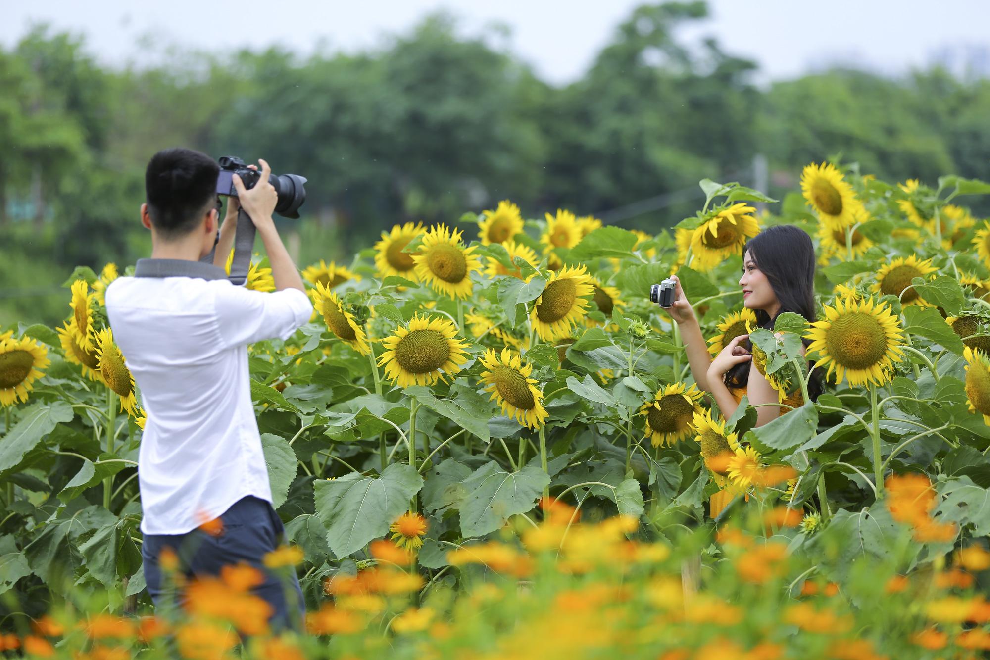 Hoa hướng dương tuyệt đẹp, giới trẻ đổ xô đến chụp ảnh - Ảnh 6.