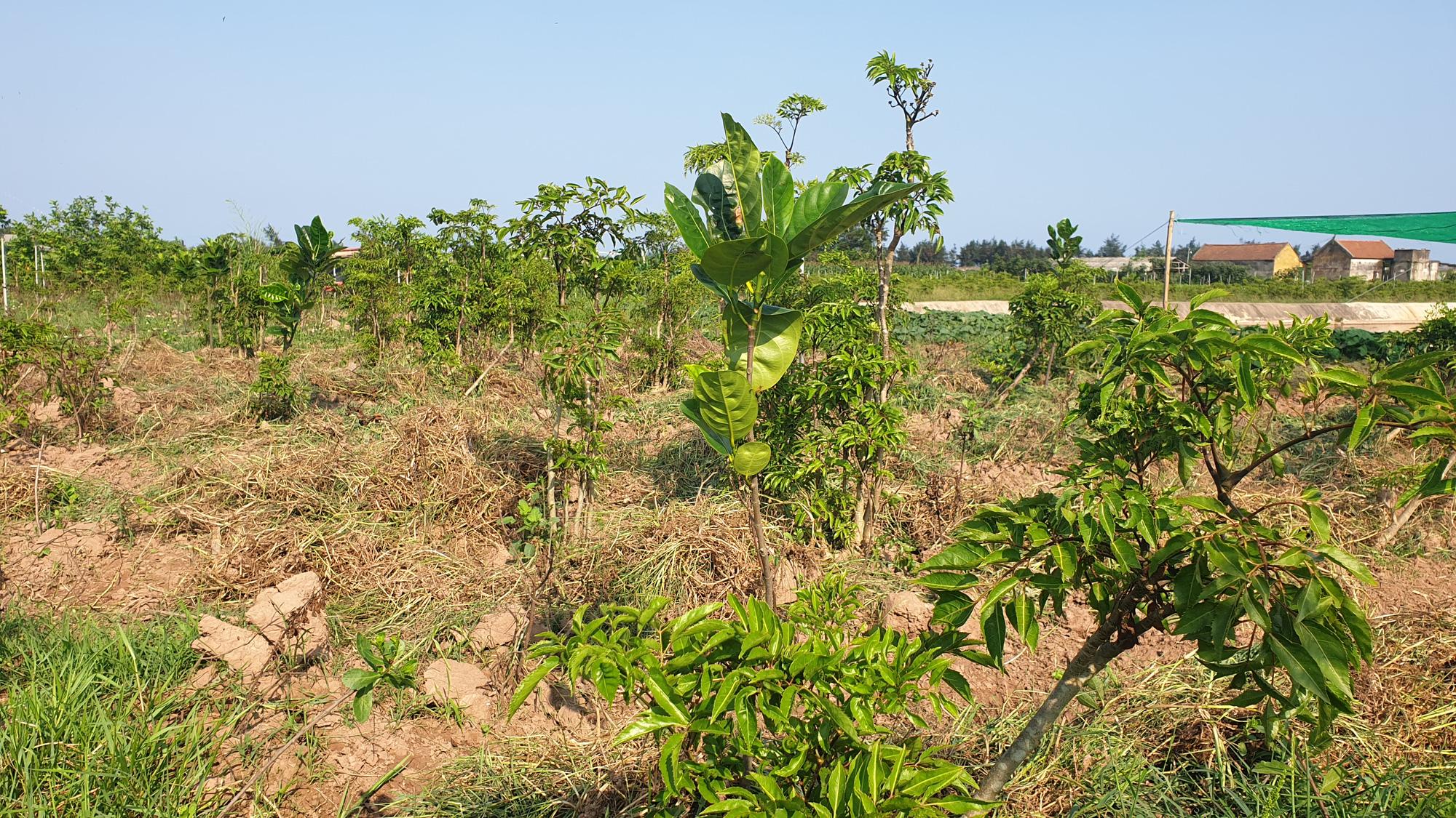 Nam Định: Đinh lăng giá rẻ như cho, bán đi chỉ đủ tiền thuê người làm cỏ - Ảnh 4.