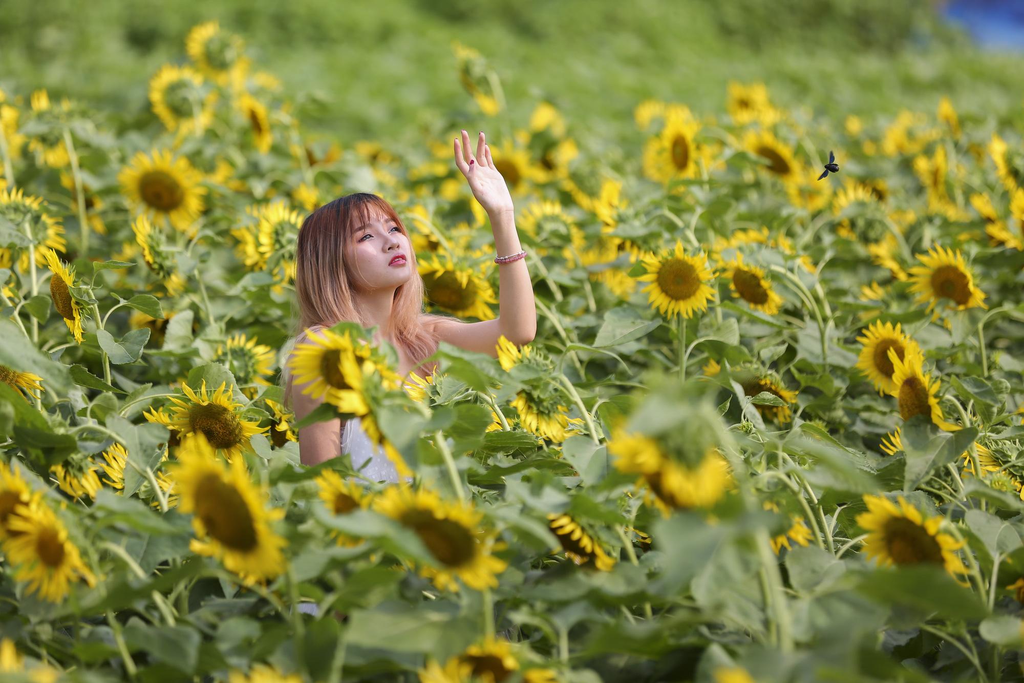 Hoa hướng dương tuyệt đẹp, giới trẻ đổ xô đến chụp ảnh - Ảnh 8.