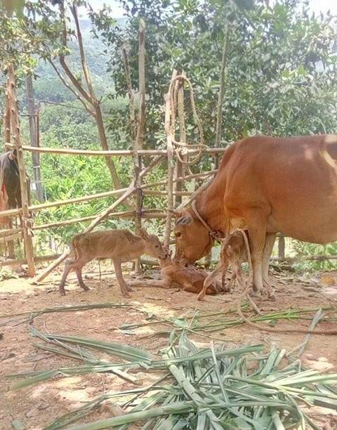 Kỳ lạ bò sinh một lúc 3 con bê đực ở Quảng Bình - Ảnh 1.