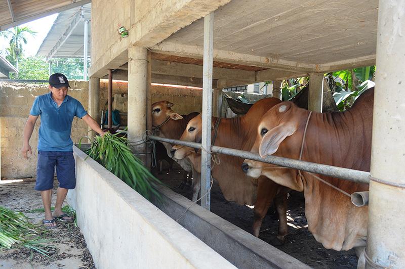 """Quảng Trị: Nuôi những loài bò con to, bự, cho ở """"nhà lầu"""" mà dân làm giàu  - Ảnh 1."""