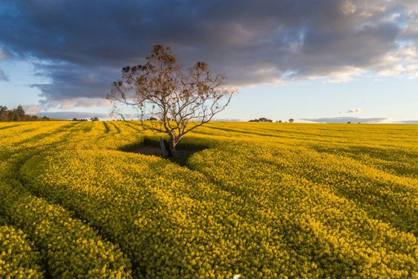 """Cây trồng biến đổi gen được """"bật đèn xanh"""" ở Nam Úc - Ảnh 1."""