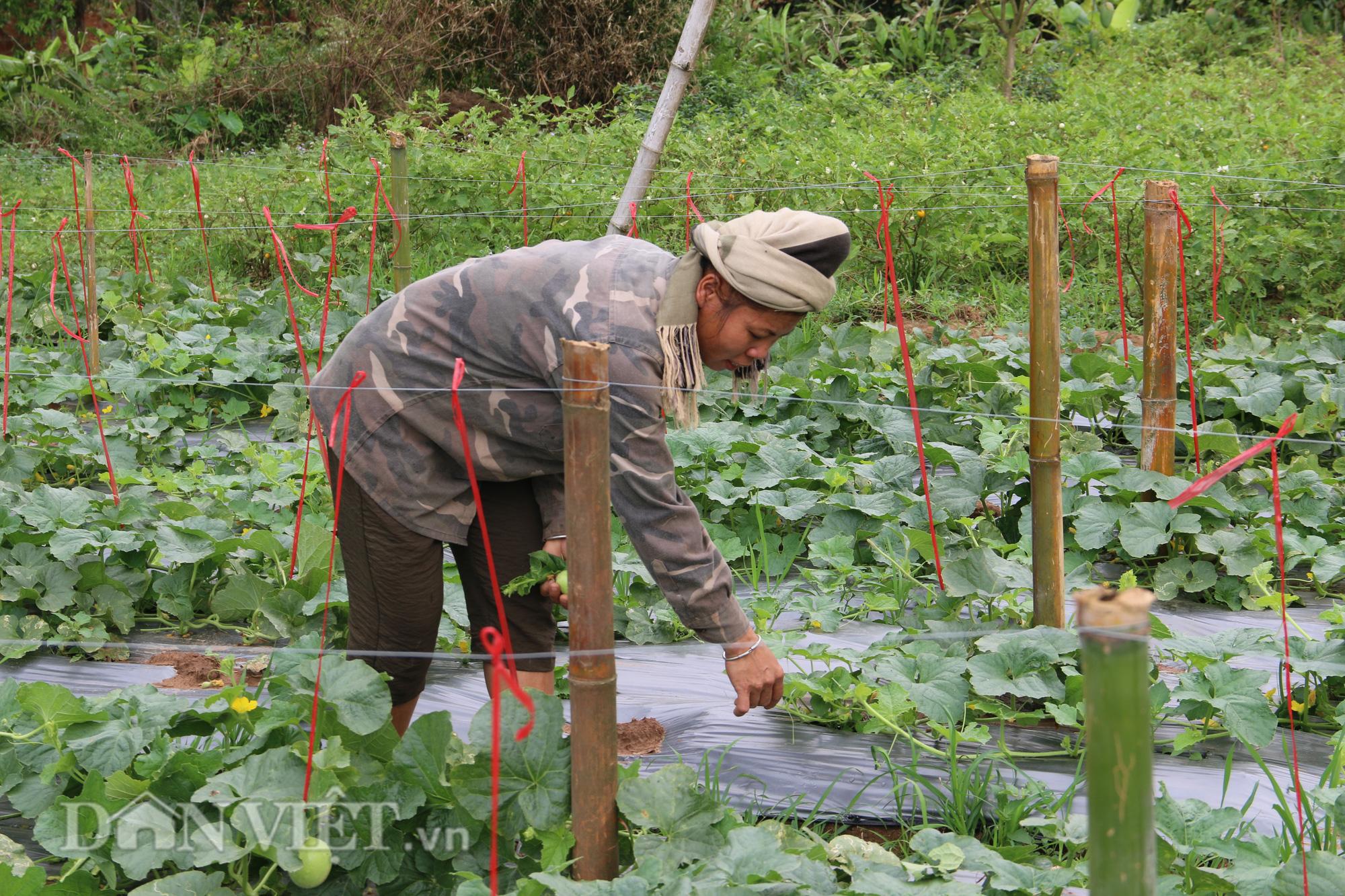 Trồng dưa lê siêu ngọt, nông dân kiếm tiền dễ ợt - Ảnh 2.