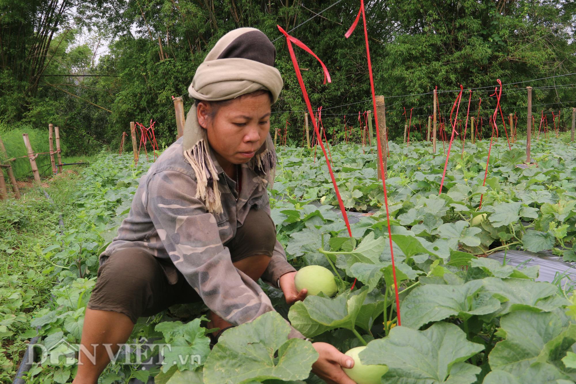 Trồng dưa lê siêu ngọt, nông dân kiếm tiền dễ ợt - Ảnh 4.