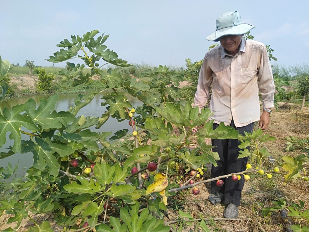 Trồng sung Mỹ - mô hình mới của nông dân xã Khánh Hòa - Ảnh 1.