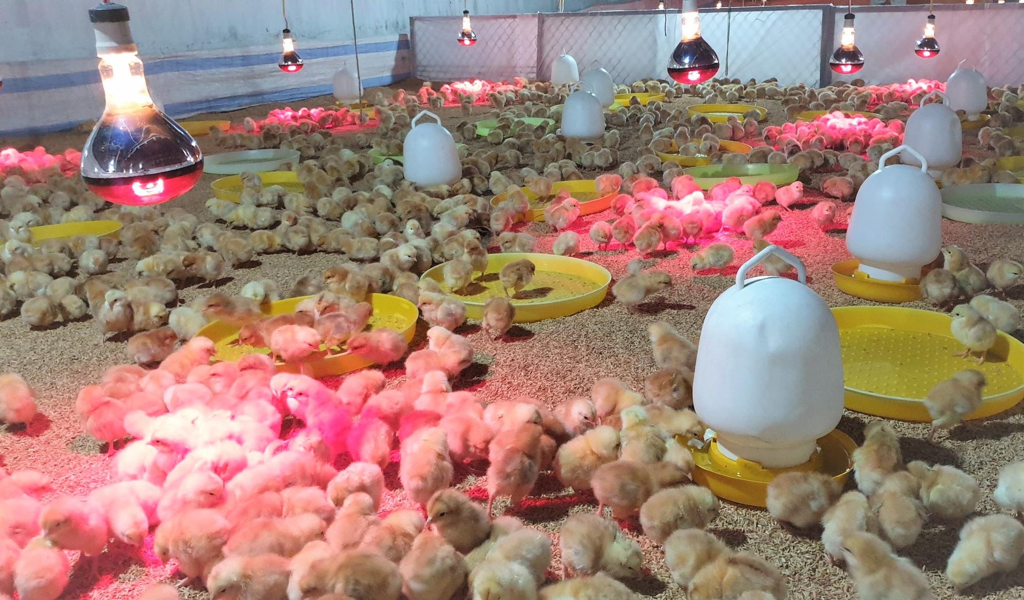 Cần nâng cao vị thế ngành gia cầm Việt Nam, hướng tới xuất khẩu - Ảnh 2.