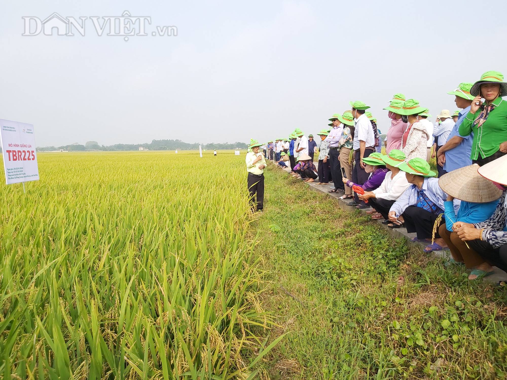 Gặp thời tiết bất thuận, lúa TBR225 vẫn cho mùa bội thu tại Vĩnh Phúc - Ảnh 3.