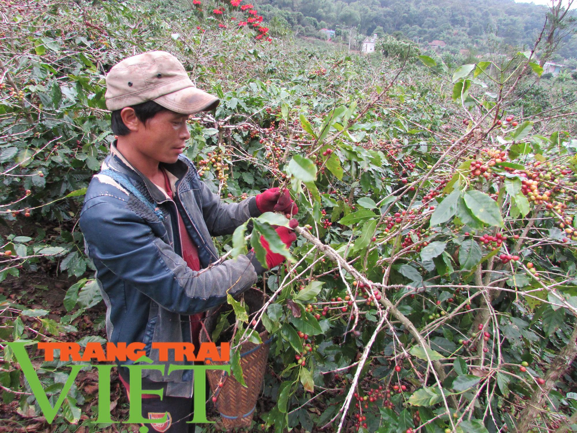 Mai Sơn đẩy mạnh phát triển sản xuất nông nghiệp hàng hoá  - Ảnh 5.