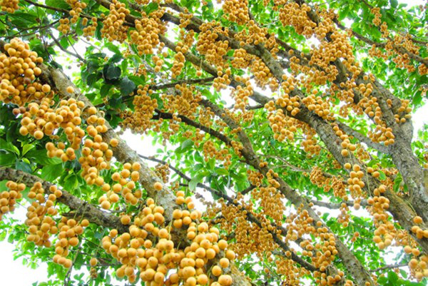 """Mãn nhãn những loại cây """"mắn"""" nhất thế giới, có cây cho hàng chục nghìn quả - Ảnh 10."""