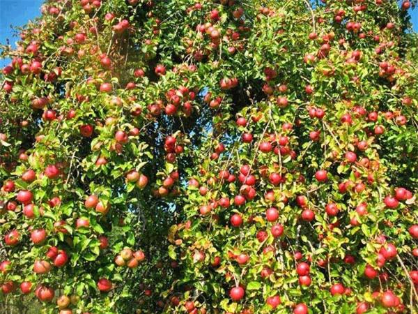 """Mãn nhãn những loại cây """"mắn"""" nhất thế giới, có cây cho hàng chục nghìn quả - Ảnh 11."""