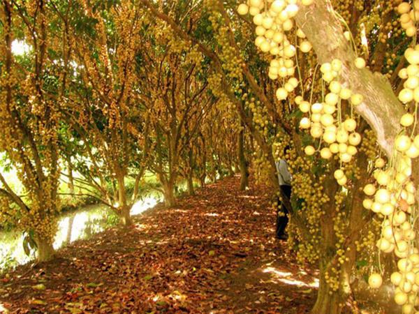 """Mãn nhãn những loại cây """"mắn"""" nhất thế giới, có cây cho hàng chục nghìn quả - Ảnh 12."""