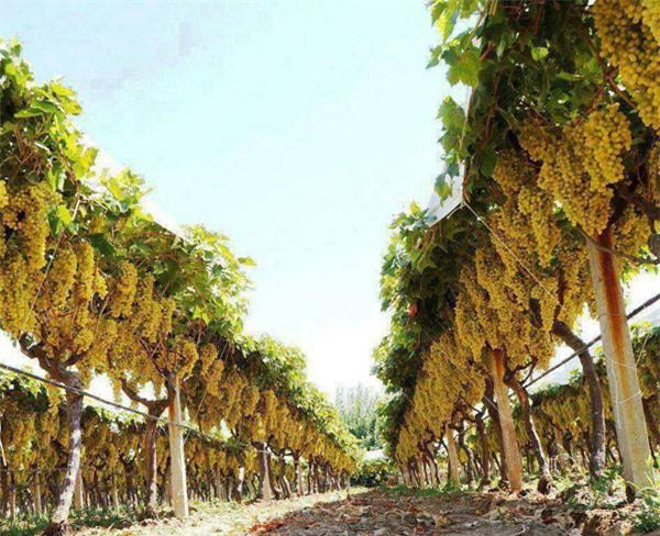 """Mãn nhãn những loại cây """"mắn"""" nhất thế giới, có cây cho hàng chục nghìn quả - Ảnh 13."""