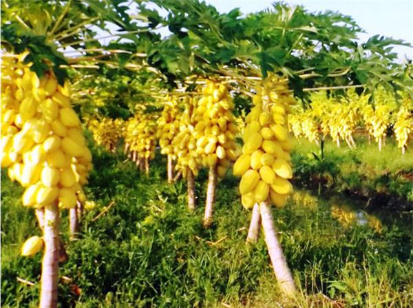 """Mãn nhãn những loại cây """"mắn"""" nhất thế giới, có cây cho hàng chục nghìn quả - Ảnh 16."""