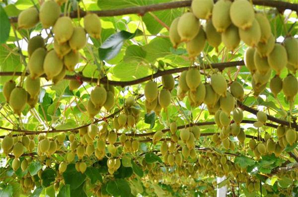 """Mãn nhãn những loại cây """"mắn"""" nhất thế giới, có cây cho hàng chục nghìn quả - Ảnh 17."""