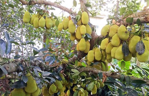 """Mãn nhãn những loại cây """"mắn"""" nhất thế giới, có cây cho hàng chục nghìn quả - Ảnh 2."""