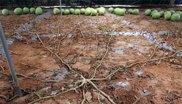 """Mãn nhãn những loại cây """"mắn"""" nhất thế giới, có cây cho hàng chục nghìn quả - Ảnh 3."""