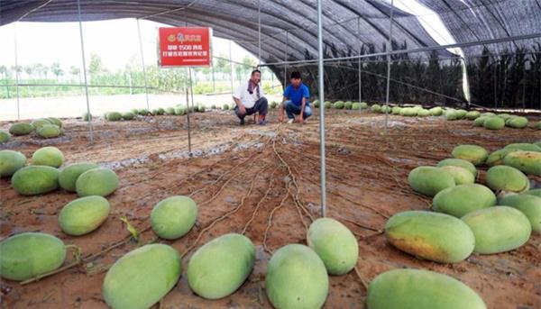 """Mãn nhãn những loại cây """"mắn"""" nhất thế giới, có cây cho hàng chục nghìn quả - Ảnh 4."""