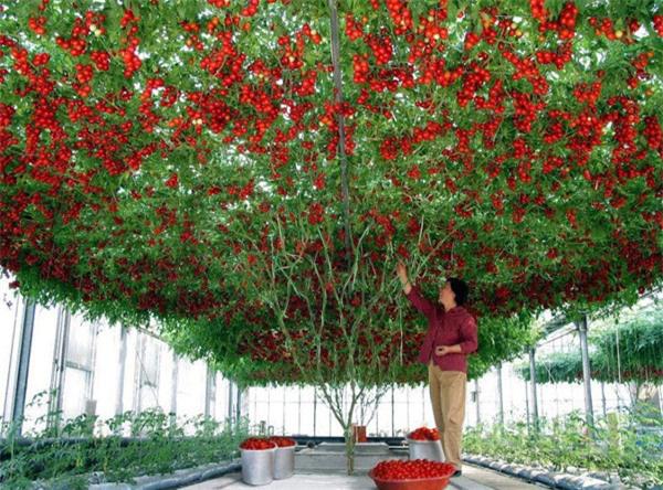 """Mãn nhãn những loại cây """"mắn"""" nhất thế giới, có cây cho hàng chục nghìn quả - Ảnh 6."""