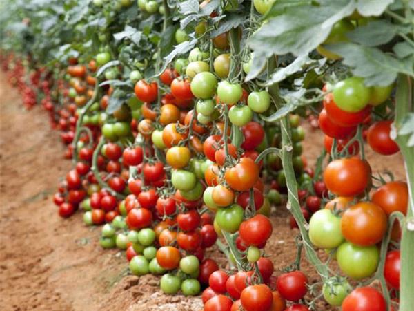 """Mãn nhãn những loại cây """"mắn"""" nhất thế giới, có cây cho hàng chục nghìn quả - Ảnh 8."""