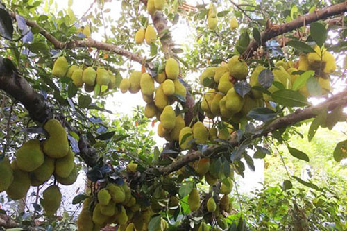 """Mãn nhãn những loại cây """"mắn"""" nhất thế giới, có cây cho hàng chục nghìn quả - Ảnh 1."""