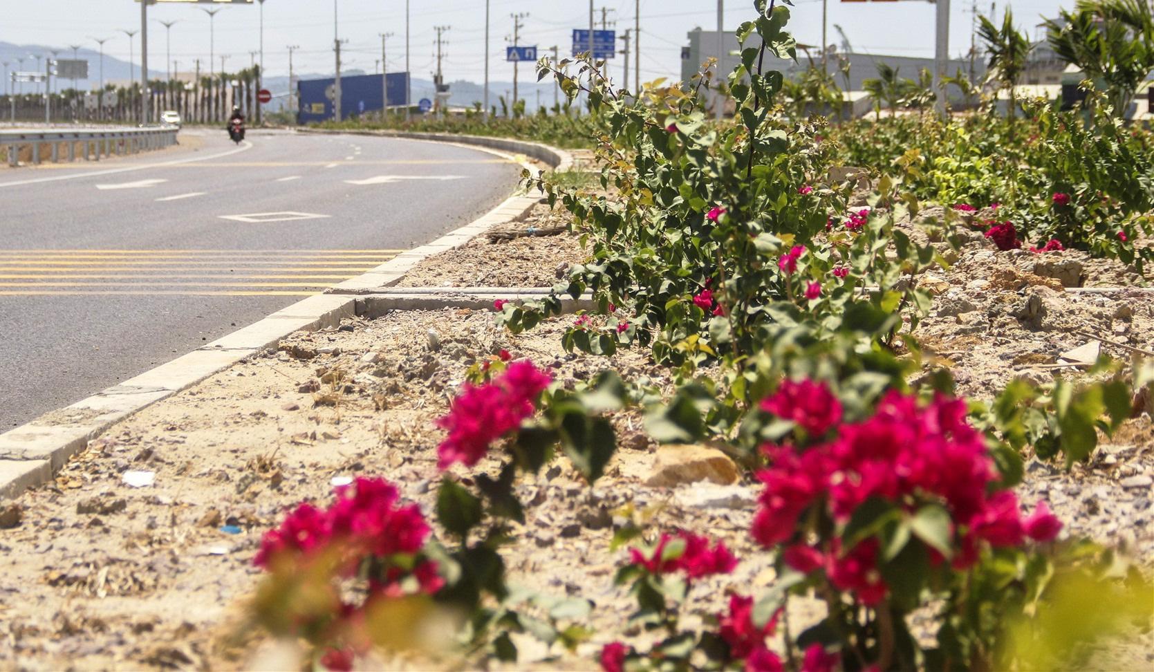 3.000 cây hoa giấy bị nhổ trên quốc lộ: Có thể khởi tố hình sự - Ảnh 2.